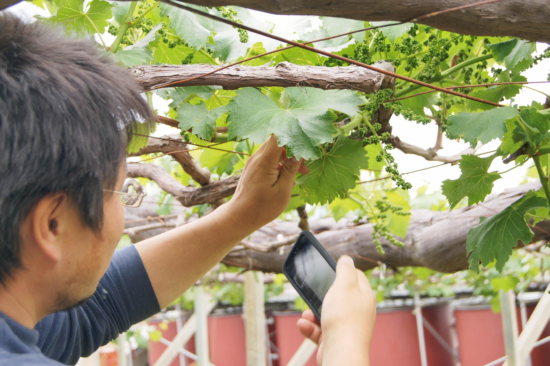 画像がメインのマニュアルのなので、作業する側も害虫、病気等、対処するべき葡萄を判断しやすい。